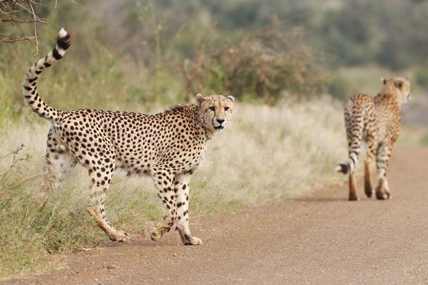 Animal Spotted Animal Wildlife Animals In The Wild Cheetah Leopard Animals Hunting Nature Beauty Feline Mammal Safari Animals Outdoors Beauty In Nature Travel Destinations Endangered Species Day Animal Themes No People