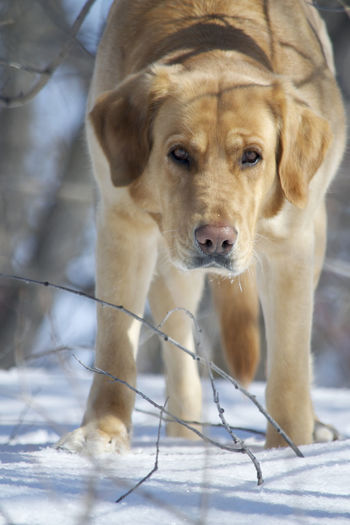 Animal Themes Close-up Cold Temperature Day Dog Dogs, Best Friends, Animal, Cuteness,loving,closeup, Domestic Animals Labs Looking At Camera Mammal Nature No People One Animal Outdoors Pets Portrait