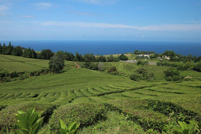 Tea Plantation  Plant Sky Beauty In Nature Growth Scenics - Nature Landscape Green Color