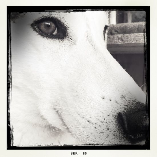 Animal Nose Auto Post Production Filter Cat Close-up Domestic Animals Husky Indoors  Loyalty Mammal One Animal Pets Window Zoology Monochrome Photography