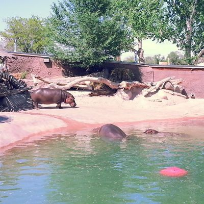 Hippopotamus Family Hippos Notell Bbehrphotos zoo funfunfun lol Saturday