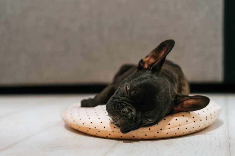 Dog Pet Pets Domestic Animals French Bulldog Frenchbulldog Frenchie Frenchbulldogs Sleeping Sleep Sleeping Dog Pillow Close-up Animal Themes Bulldog Canine Pet Bed