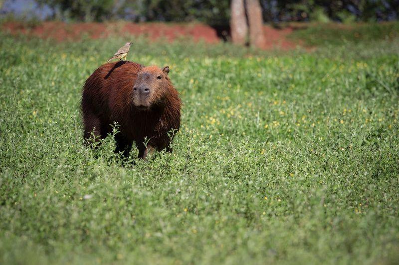 Capybara on grass