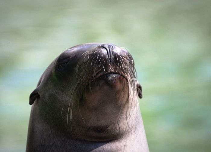 well hey guys Seal - Animal Aquatic Mammal Animals In The Wild Sea Lion Seal Water Nature