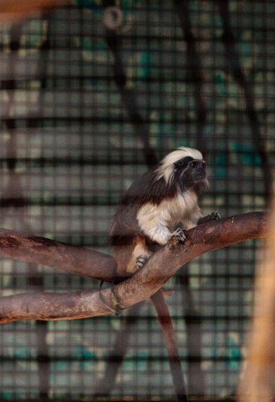 Cotton-top tamarin monkey called Saguinus oedipus sits in a cage in captivity Cotton-Top Tamarin Saguinus Oedipus Animal Themes Animal Wildlife Animals In The Wild Bird Bird Of Prey Branch Cage Close-up Day Hornbill Mammal Monkey Nature No People One Animal Outdoors Perching Primate Tamarin Trapped Tree