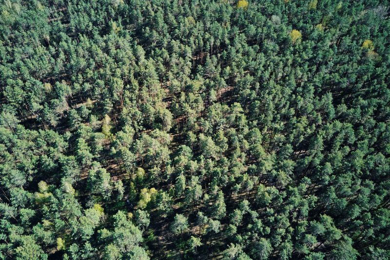 Green forest, aerial view. nature landscape of pine trees, bird eye view