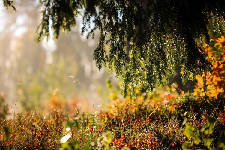 Woods Flowers, Nature And Beauty Flowers,Plants & Garden Nature Photography Dalarna Canon 100mm Canon Canon 70d Morning Autumn Fall Höst Sweden Sverige Grängesberg Skog Forest Fog Dimma Morning Sunrise Plant Growth Beauty In Nature Nature Tree No People Focus On Foreground