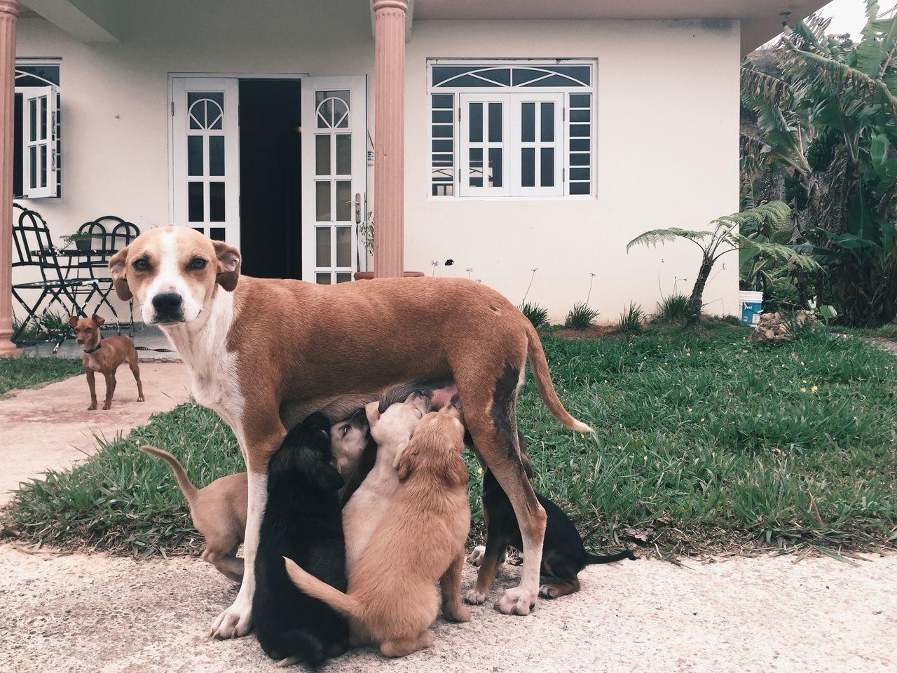 Dog feeding puppies outside house