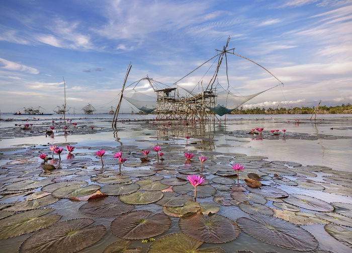 Lotus blooming in lake with fishing nets hanging on built structure in background