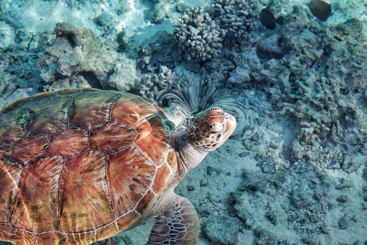 Turtle on bora bora