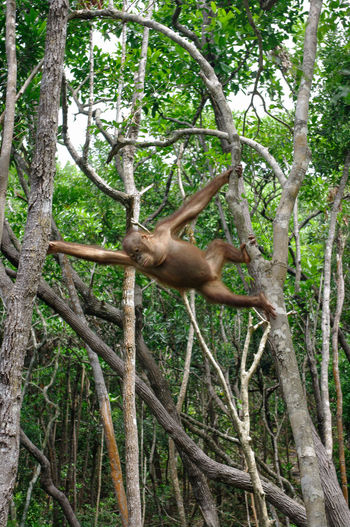 Low angle view of orangutan climbing on trees in forest