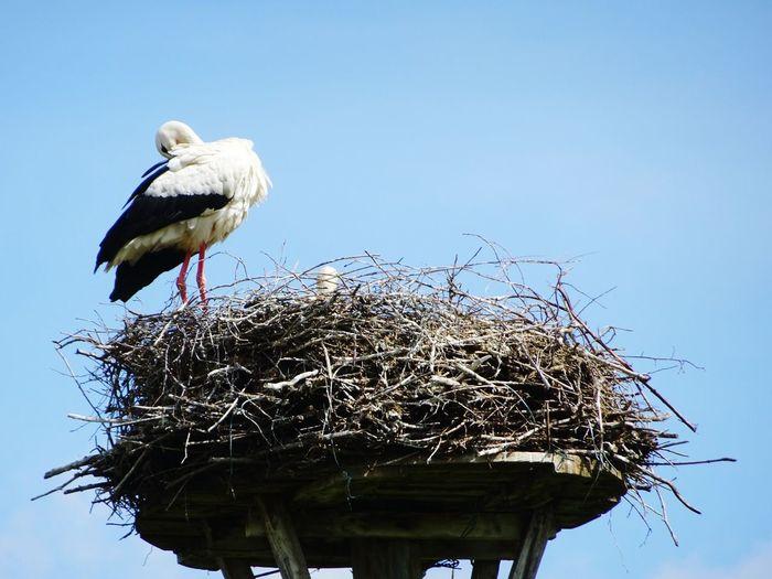 Bird White Stork Perching Blue Stork Beak Clear Sky Sky Animal Nest Bird Nest Nest Young Bird