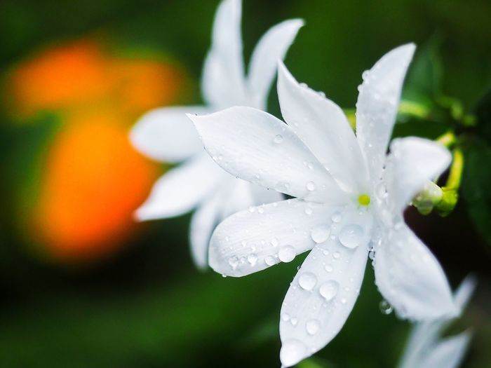 beautiful spring time White Flower Rsin Drops Morning Dew Blooming Blooming Flower Flower Head Flower Collection Nature Collection Flower Nature Close-up No People Day Beauty In Nature Outdoors Flower Head Freshness