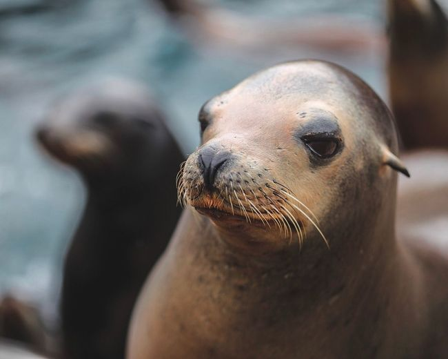 Animals In The Wild Animal Themes Mammal Close-up Animal Wildlife One Animal Sea Lion Seal - Animal Seal Aquatic Mammal No People Day Outdoors Sea Life Nature