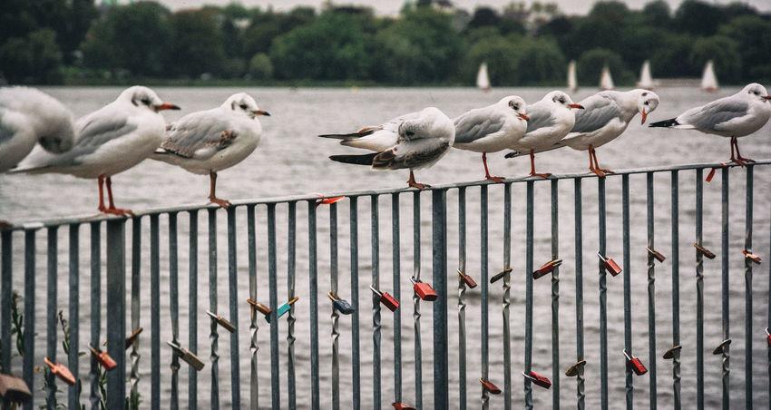 Alster Animals In The Wild Bird Day Flock Of Birds Geländer Hamburg Large Group Of Animals Liebesschlösser Möwe Möwen Nature No People Outdoors See Vogel Wasser