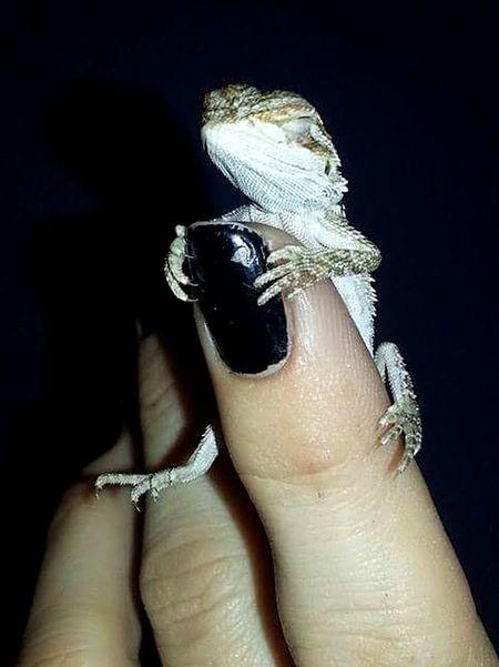 Beardie Baby❤ Human Finger Nail Polish Reptile Hatchling