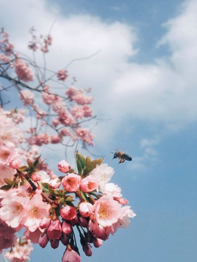 Low Angle View Of Bee Buzzing On Pink Cherry Blossoms