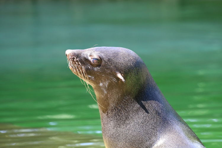 Close-up of sea lion swimming in lake