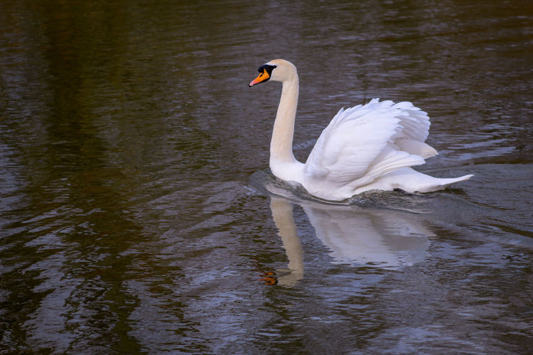Reflections In The Water Lakeside Beauty In Nature EyeEm Best Shots EyeEm Nature Lover EyeEmBestPics EyeEm Best Shots - Nature Wonders Of Nature Feather  Swimming Animal Fresh Water Birds Mute Swan White Swan Male Animal Swan