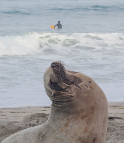 Sea Lion Wildlife Wildlife & Nature Beach Wild Wildlife Photography Encintas Moonlight Beach Surfing Surfer Showcase April Telling Stories Differently People Of The Oceans Two Is Better Than One