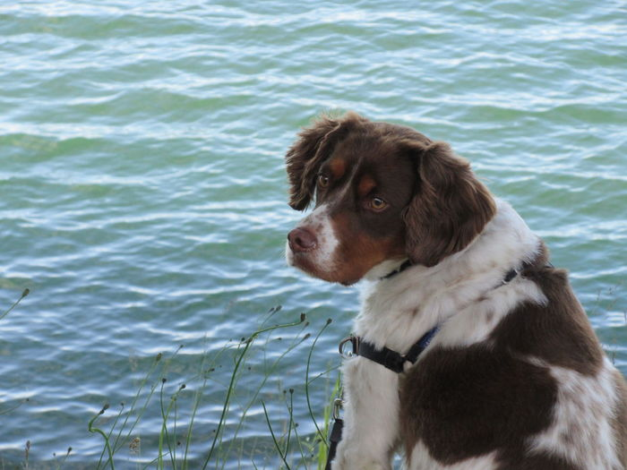 Bird Alert! Brittany Brittany Spaniel Brittany ❤ Animal Themes Canine Dog Focus On Foreground Intense Eyes Intensity One Animal Pet Collar Pets