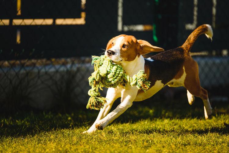 Beagle dog fun in garden outdoors run and jump with rope towards camera. active pet concept