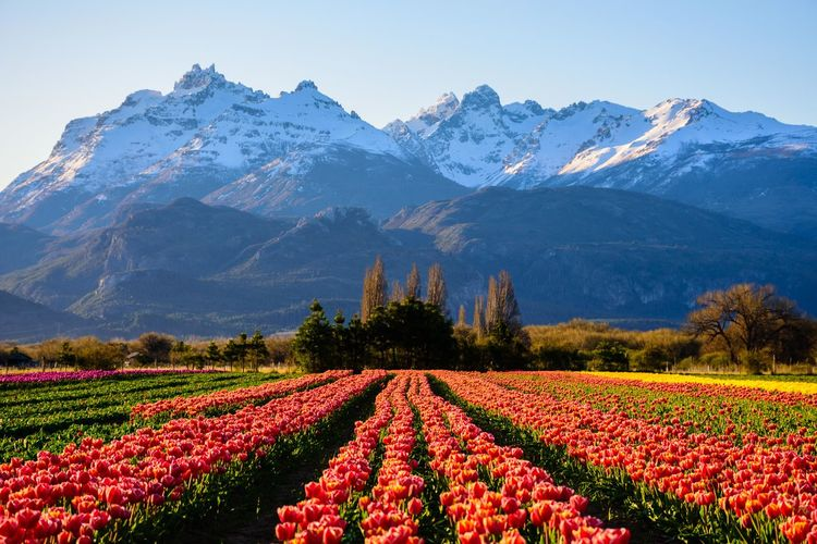 Tulips season Andes Tulips Agriculture Beauty In Nature Blooming Blossom Day Field Flower Flower Head Freshness Growth Landscape Mountain Mountain Range Nature No People Outdoors Patagonia Patagonia Argentina Rural Scene Scenics Sky Snow Tulips🌷