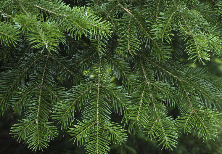 Green spruce branches as a textured background. Backgrounds Beauty In Nature Branch Close-up Coniferous Tree Day Focus On Foreground Full Frame Green Green Color Growth Land Leaf Leaves Nature Needle - Plant Part No People Outdoors Pine Tree Plant Plant Part Tranquility Tree Tree; Green; Spruce; Fir; Environment; Forest; Nature; Tree Branch; Park; Plant; Forestry; Needle; Pine; Background; Decoration; Twig; Wooded; Urge; Lush; Trunk; Botany; Vegetation; Timberland; Detail; Coppice; Pine Forest; Wood; Coniferous; Conifer; Xmas