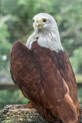 Caged bird of prey In Cage Bird Bird Of Prey Brown Plumage Focus On Foreground Looking Forward Perching White Head