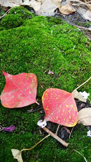 Moss for my dear friend Green Color Outdoors Red Color Photographyislife Popular Photos EyeemPhotos Puristphotography Nature Photography Nature Naturelover Leaves On Moss Fall Colors