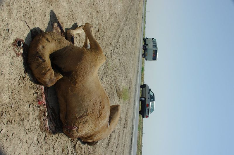 Animal Road Accident Trafic Speeding Fatal Camel Travel Heated Nature Sad