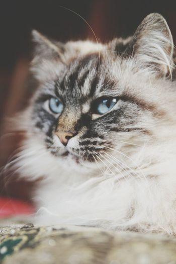 Relaxing Cat Cute Lightblueeyes