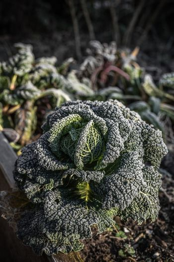 Savoy Beauty In Nature Close-up Day Focus On Foreground Food Freshness Green Green Color Growth Healthy Eating Land Leaf Nature No People Outdoors Plant Savoy Savoy Cabbage Selective Focus Vegetable Wellbeing