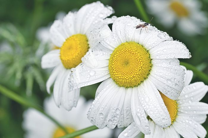 Ромашки и букашки Flower Flower Head Close-up Nature Beauty In Nature Yellow No People Summer Petal Outdoors Day Fragility Closing Freshness Plant Shchigry Chamomile