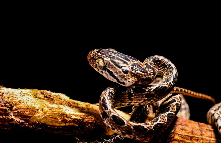 close snake Snake Reticulated python on black isolated background Dangerous Animals Reptile Snake Animal Themes Animal Wildlife Animals In The Wild Background Black Background Blackandwhite Close-up Nature Night One Animal Phython Python Reptile