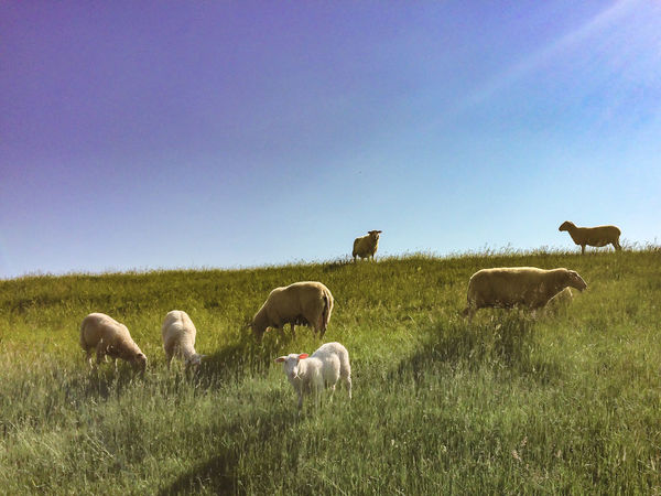 Day Dike Grass Grassy Grazing Green Color Lamb Livestock Mammal Medium Group Of Animals No People Scenics Sheep Sky Tranquil Scene Gone Biking
