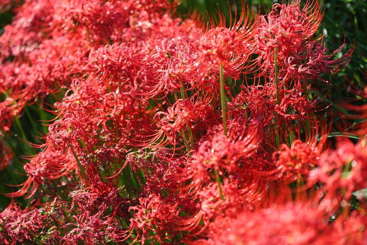 木曽川に咲いていた曼珠沙華 Flower Beauty In Nature Cluster Amaryllis 曼珠沙華 彼岸花 木曽川 Flower Photography Red Flower Red Color