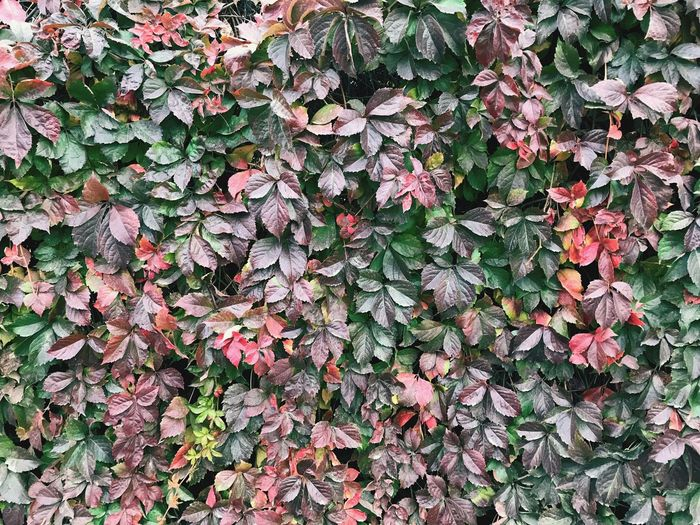 Winter Autumn Top View Autumn colors Autumn Collection Full Frame Growth No People Day Backgrounds Plant Nature Vulnerability  Creeper Plant Green Color Covering Outdoors Land Close-up Beauty In Nature Freshness Plant Part Leaf Ivy Abundance