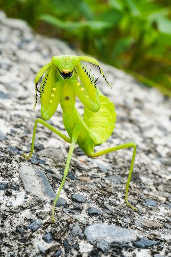 螳螂 Insect
