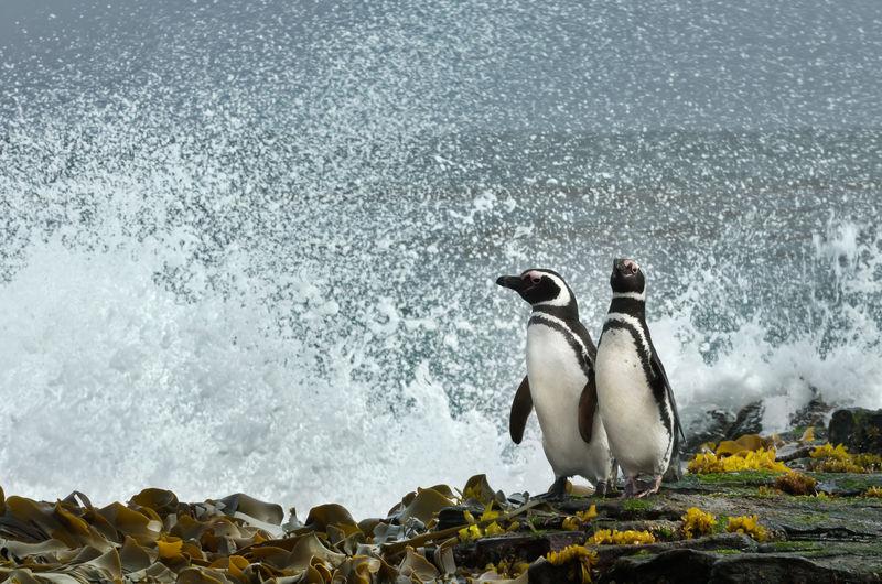 Penguins perching on coastline by splashing sea