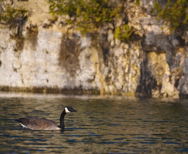 Animals In The Wild Animal Themes Bird Animal Wildlife One Animal Lake Water Nature Swimming Water Bird Waterfront Side View No People Day Beauty In Nature Outdoors