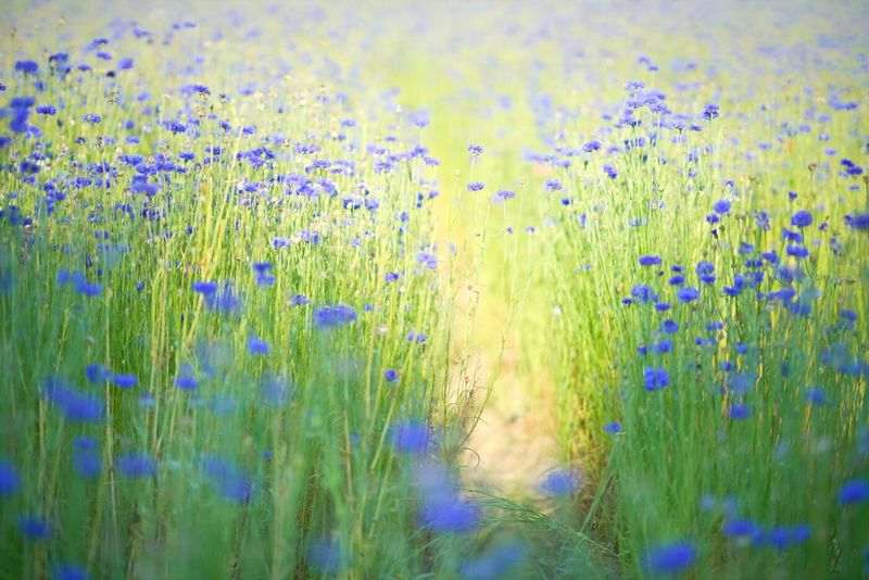 Growth Nature Grass Field Green Color Plant Beauty In Nature No People Outdoors Day Freshness Rural Scene Backgrounds Flower Water Fragility Close-up Sky 순천스냅 여수스냅 광양스냅 광주호수생태원 수레국화 광주환벽당 Beauty In Nature