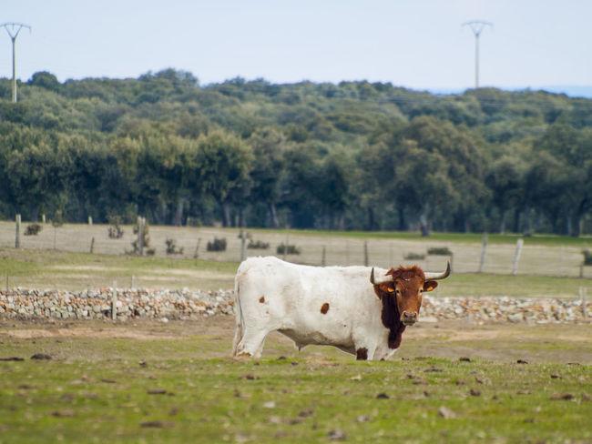 Animals In The Wild EyeEm Best Shots Farmland Livestock Rural Animal Themes Berrenda En Colorado Cabestros Cattle Countryside Cow Cows In A Field Dehesa Domestic Animals Environment Farmlandscape Halter Mammal Nature Ox  Pasture, Paddock, Grassland, Pastureland Rural Scene Steer Toros Toros Bravos