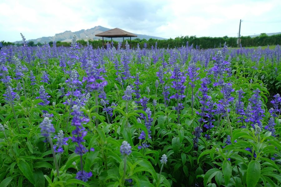 Flower park Nature Flower Plant Growth Purple Scenics Beauty In Nature Landscape Outdoors Field Green Color Lavender Day Sky Freshness Flower Arrangement Flower Market Lavender Colored Lavender Field Lavender Fields Lavender Garden Lavender Plant Lavendermountain Lavender Blossoms Lavender Bouquet