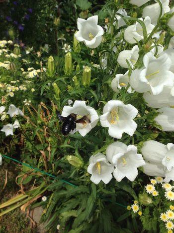 Garden Photography Holzbiene Garden Bee Fly Bellflower Flower Wood Bee Insect Flying Bee Xylocopa Violette Bee Xylocopaviolacea Black Bee Glockenblume Blaue Holzbiene