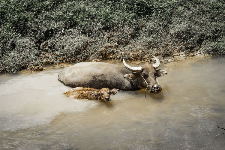 Water buffalo at riverside Animal Themes Animal Mammal Vertebrate Water Domestic Domestic Animals Pets Cattle Animal Wildlife Livestock One Animal Plant Horned Tree Waterfront No People Nature Day Herbivorous Outdoors Water Buffalo River Riverside