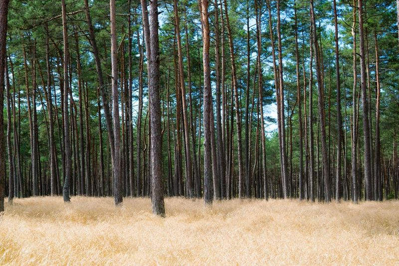 Tree Forest Nature Beauty In Nature Outdoors No People Day Curonian Spit Grass Vacation Lithuania