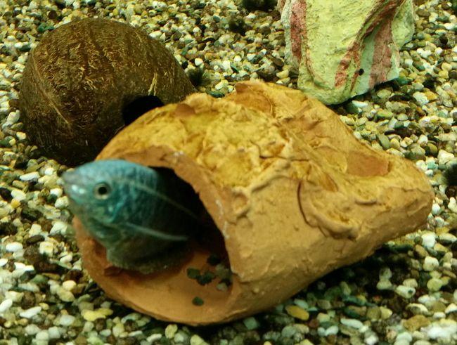 Tricogaster esce dall'anfora Tricogaster Fishes Acquarium Tanks Tank Acquari Acquariofilia Acquario Fish Tank Pesci
