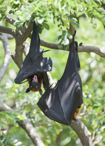 Foxbats in Thailand ASIA Bat Giant Hanging Mouth Thailand Tree Animal Themes Animal Wildlife Animals In The Wild Bat - Animal Black Color Fox Fox Bat Foxbat Fruit Green Color Hanging Low Angle View Mammal No People One Animal Open Outdoors Tree