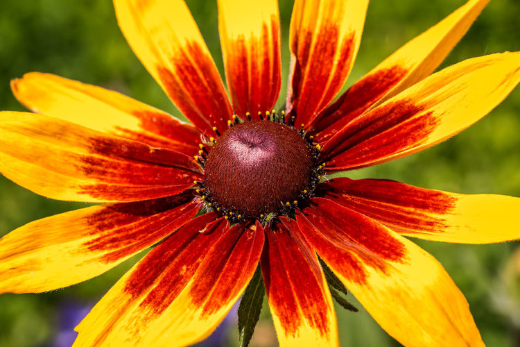Sonnenhut - Echinacea Sonnenhut Sonnenhut - Echinacea Beauty In Nature Blooming Close-up Flower Flower Head Focus On Foreground Nature No People Outdoors Petal Plant Pollen Sonnenhut, Flower